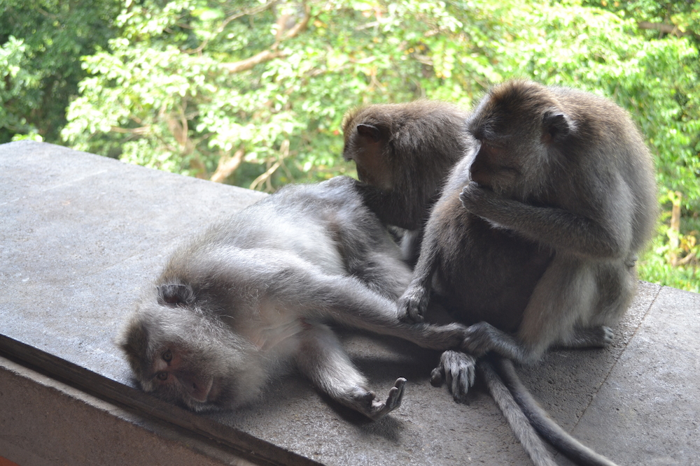 Maimute Ubud Monkey Forest