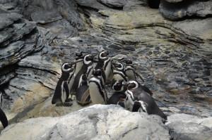 Pinguini la oceanariul din lisabona